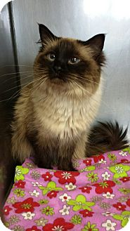 Ragdoll Cat for adoption in Sauk Rapids, Minnesota - Nelly
