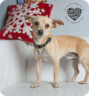 Chihuahua/Terrier (Unknown Type, Small) Mix Dog for adoption in Inglewood, California - Kylo