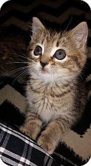 Domestic Shorthair Kitten for adoption in St. Charles, Missouri - Gravy