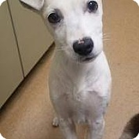 Adopt A Pet :: Dorothy #162711 - Apple Valley, CA