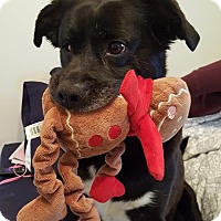 Adopt A Pet :: Beau - Middletown, OH