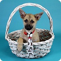 Adopt A Pet :: Pinto - Joliet, IL