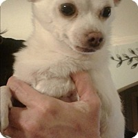Chihuahua Mix Dog for adoption in Rockford, Illinois - Tiny