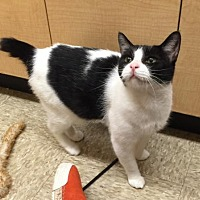 Domestic Shorthair Cat for adoption in Atlanta, Georgia - MIsty
