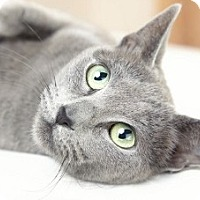 Russian Blue Cat for adoption in Bryn Mawr, Pennsylvania - Boris bonded with Blue