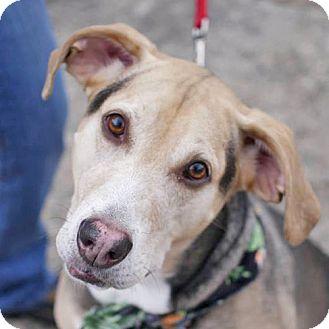Husky/Hound (Unknown Type) Mix Dog for adoption in Fairfax, Virginia - Bear
