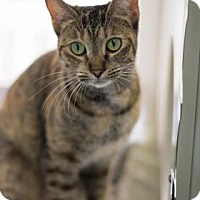 Domestic Shorthair Cat for adoption in Bradenton, Florida - Gimpy