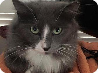 Domestic Mediumhair Cat for adoption in Cincinnati, Ohio - zz 'Blue' courtesy post