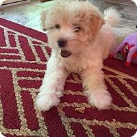 Adopt A Pet :: Snowflake - Rockaway, NJ