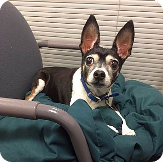 Chihuahua Mix Dog for adoption in Columbus, Ohio - Mr B