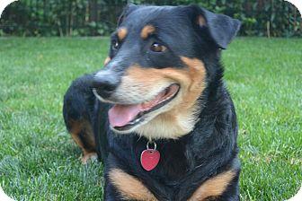 Rottweiler/Labrador Retriever Mix Dog for adoption in Denver, Colorado - Bella