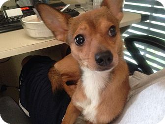 Chihuahua/Dachshund Mix Dog for adoption in Alhambra, California - Mikey