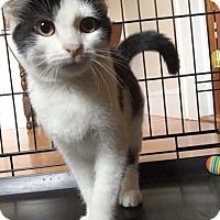 Adopt A Pet :: Spot - Whitestone, NY