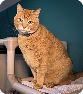 Domestic Shorthair Cat for adoption in Houston, Texas - Dancer