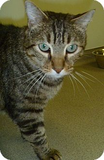 Domestic Shorthair Cat for adoption in Hamburg, New York - Gumby