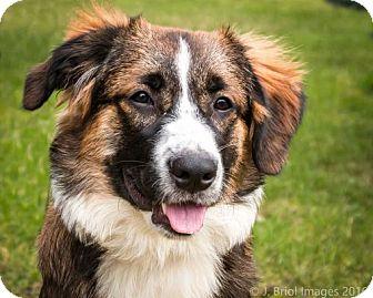 St. Bernard/Australian Shepherd Mix Puppy for adoption in Shakopee, Minnesota - Marty D3264