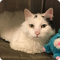 Adopt A Pet :: Gowron-declawed - Voorhees, NJ