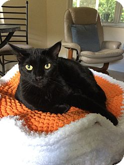 Domestic Shorthair Cat for adoption in Fort Pierce, Florida - Ally