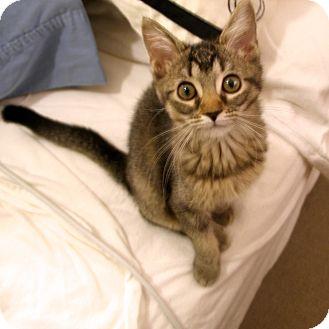 Domestic Shorthair Kitten for adoption in Covington, Kentucky - Jean Genie
