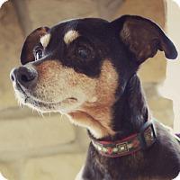 Adopt A Pet :: Big Brenda - Newport, KY