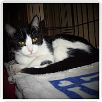 Domestic Shorthair Cat for adoption in Medford, Wisconsin - DOMINO