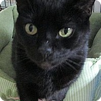 Domestic Shorthair Cat for adoption in Monroe, Connecticut - Spooky