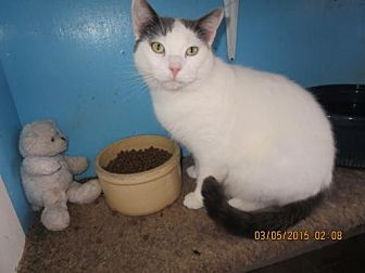 Domestic Shorthair Cat for adoption in Coos Bay, Oregon - Sailor Jack