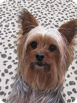 Yorkie, Yorkshire Terrier Dog for adoption in Baton Rouge, Louisiana - Queenie