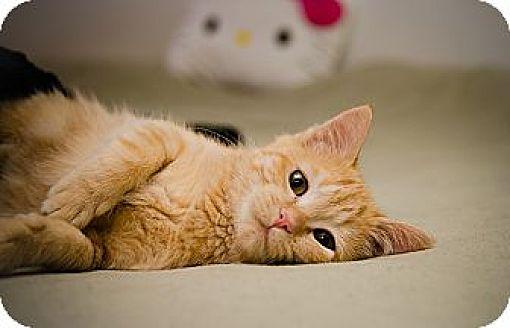 Domestic Shorthair Cat for adoption in St. Louis, Missouri - Albie