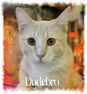 Domestic Shorthair Kitten for adoption in Wichita Falls, Texas - Dude Bro