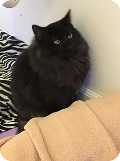 Domestic Longhair Cat for adoption in Bourbonnais, Illinois - shadow