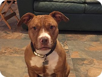 Staffordshire Bull Terrier/American Staffordshire Terrier Mix Dog for adoption in Sacramento, California - Candy!