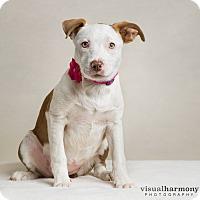 Adopt A Pet :: Lavender - Chandler, AZ