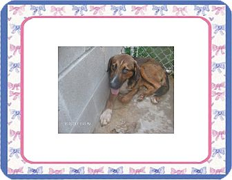 Hound (Unknown Type) Mix Dog for adoption in KELLYVILLE, Oklahoma - ZIGGY
