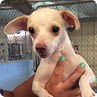Adopt A Pet :: Twinkie - El Centro, CA