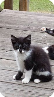Domestic Shorthair Kitten for adoption in Parkton, North Carolina - Sophia