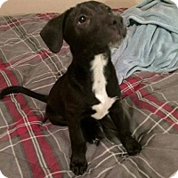 Adopt A Pet :: Rena - Olive Branch, MS
