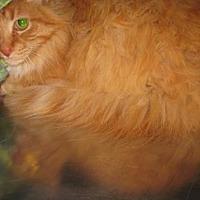 Adopt A Pet :: Cinco - Roseville, CA