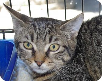 Domestic Shorthair Cat for adoption in Longview, Washington - Lola