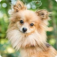 Pomeranian Mix Dog for adoption in Cincinnati, Ohio - Rosebelle - Tripod