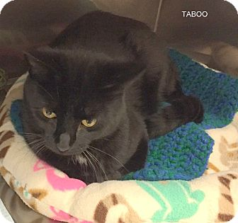 Domestic Shorthair Cat for adoption in Hibbing, Minnesota - TABOO