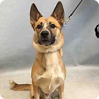 Adopt A Pet :: Casey Aust Shep/Cattle Dog - Woodland Park, NJ