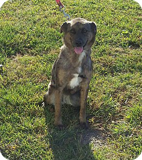 Anatolian Shepherd Mix Dog for adoption in Cameron, Missouri - Cali