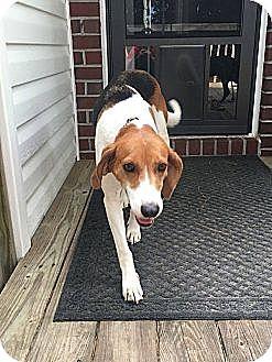 Treeing Walker Coonhound/Hound (Unknown Type) Mix Dog for adoption in Pittsboro, North Carolina - Marinelle