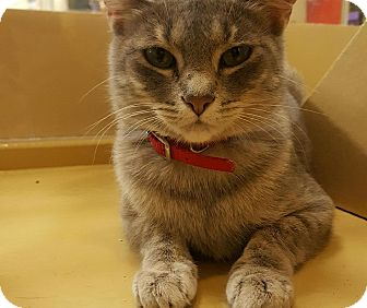 Domestic Shorthair Kitten for adoption in Manchester, Connecticut - Mitzy (in CT)