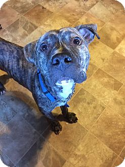 American Pit Bull Terrier/American Staffordshire Terrier Mix Dog for adoption in oxford, New Jersey - Campbell