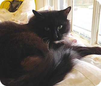 Domestic Longhair Cat for adoption in Fairfax, Virginia - Billie