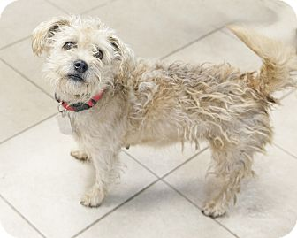 Poodle (Miniature)/Schnauzer (Standard) Mix Dog for adoption in Bedford, Indiana - Jenny