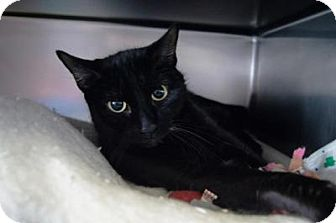 Domestic Shorthair Cat for adoption in New Milford, Connecticut - Amethyst