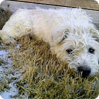 Cairn Terrier Mix Dog for adoption in Plano, Texas - TOBY
